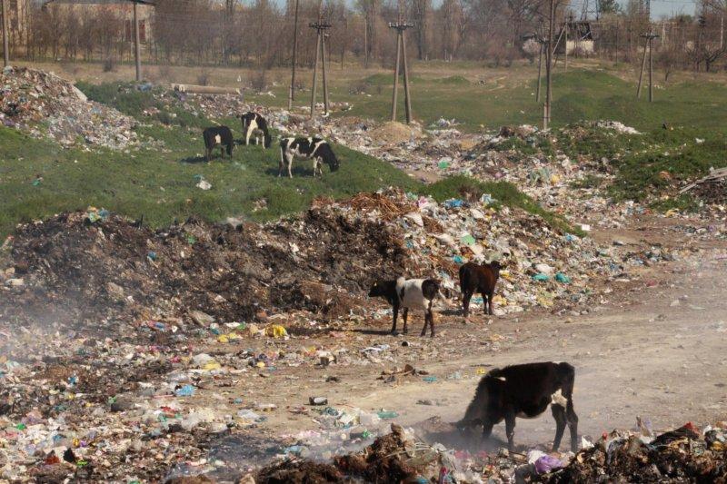 Animalele domestice deseori ajung să pască prin gunoaie FOTO Veronica Tabureanu