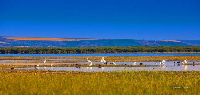 Păsări pe lacul natural Beleu. FOTO: Roman Friptuleac