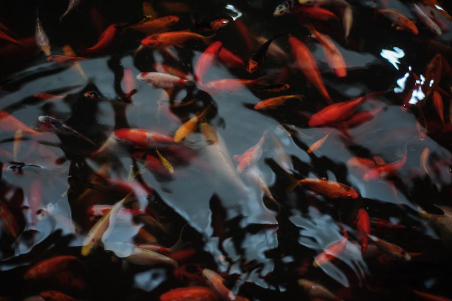 Peștișorii decorativi