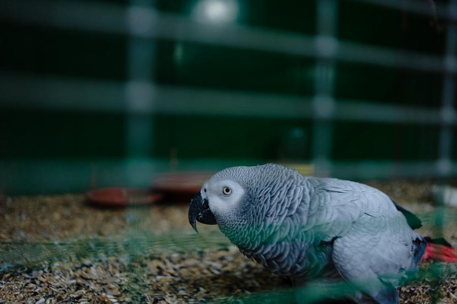 papagal